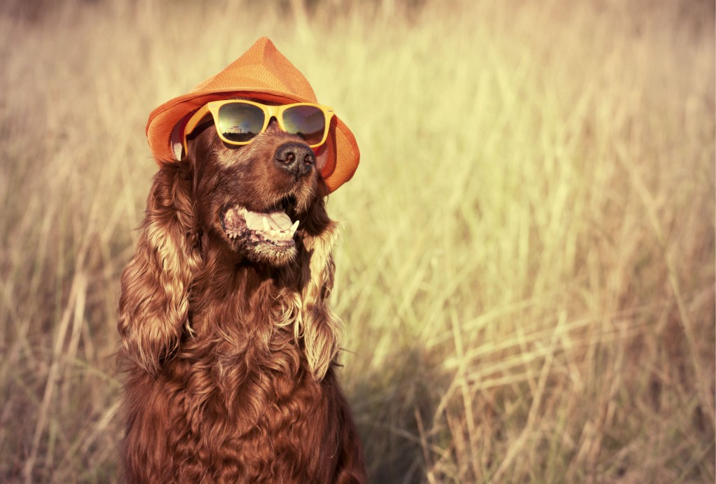 47530072 - funny retro dog wearing sunglasses and hat